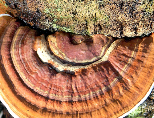 Ganoderma in Florida